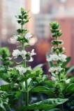 Basil's flower @f8 D700