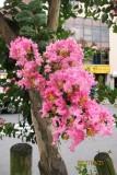 Sarusuberi flowers