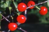 Cherries KR64