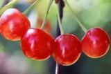 Four cherries KR64