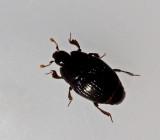 Histeridae, Stumpbaggar