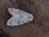 Plakker / Gypsy Moth / Lymantria dispar