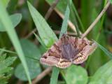 Bruine daguil / Burnet Companion Moth / Euclidia glyphica