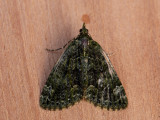 Papegaaitje / Red-green Carpet / Chloroclysta siterata