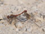 Libellen en Waterjuffers / Dragonflies and Damselflies