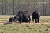 Waterbuffels in de Biesbosch