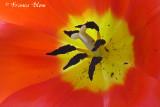 Hart van een tulp