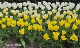 Tulpen van wit naar geel
