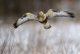 Fjällvråk - Rough-legged Buzzard