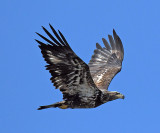 Immature Bald Eagle_4684.jpg