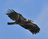 Immature Bald Eagle_5270.jpg
