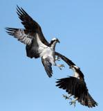 Osprey Wars_6543.jpg