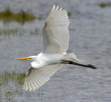 Egret in Flight_0812.jpg
