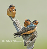 Cliff Swallow_9628.jpg