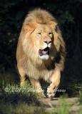 Lion_8330.jpg