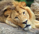 Lion_7476.jpg