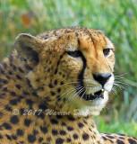 Cheetah_7890.jpg