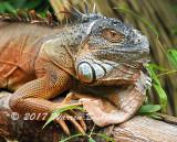Iguana_7549.jpg