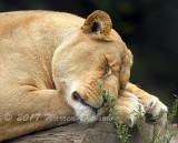 Lioness_7490.jpg