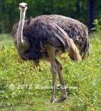 Ostrich_7698.jpg