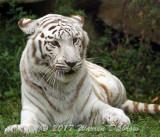 Tiger_7496.jpg