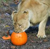 Lion_1559.jpg