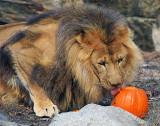 Lion_1583.jpg