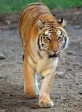 Tiger_0725.jpg