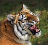 Tiger_1428.jpg