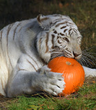 Tiger_1879.jpg