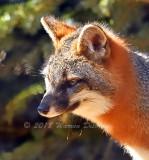 Red Fox_0739.jpg