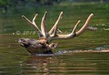 Elk_6366.jpg