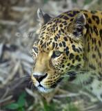 Leopard_6056.jpg