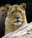 Lioness_5959.jpg