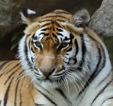 Tiger_5944.jpg