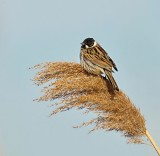 Rietgors (Common Reed Bunting)