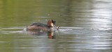 Fuut (Great-crested Grebe)