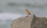 Tapuit (Northern Wheatear)