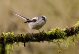 Staartmees (Long-tailed Tit)