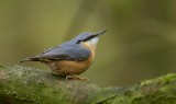 Boomklever (Eurasian Nuthatch)