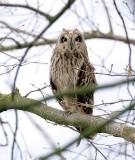 Velduil (Short-eared Owl)
