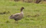 Kleine Rietgans (Pink-footed Goose)