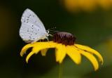 Boomblauwtje (Celastrina argiolus) - Holly Blue