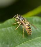 Gewone Wesp (Vespula vulgaris) - Common Wasp
