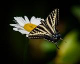 A Swallowtail Breakfast
