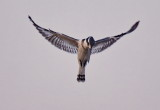 Pied King Fisher - Hovering
