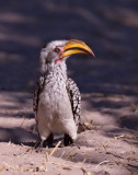 Southern Yellow Billed Hornbill - Flying Banana