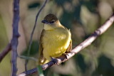 Yellow Bellied Greenbul - I think... ;-)