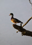Wood Duck at Sunrise