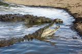 crocos costariciens